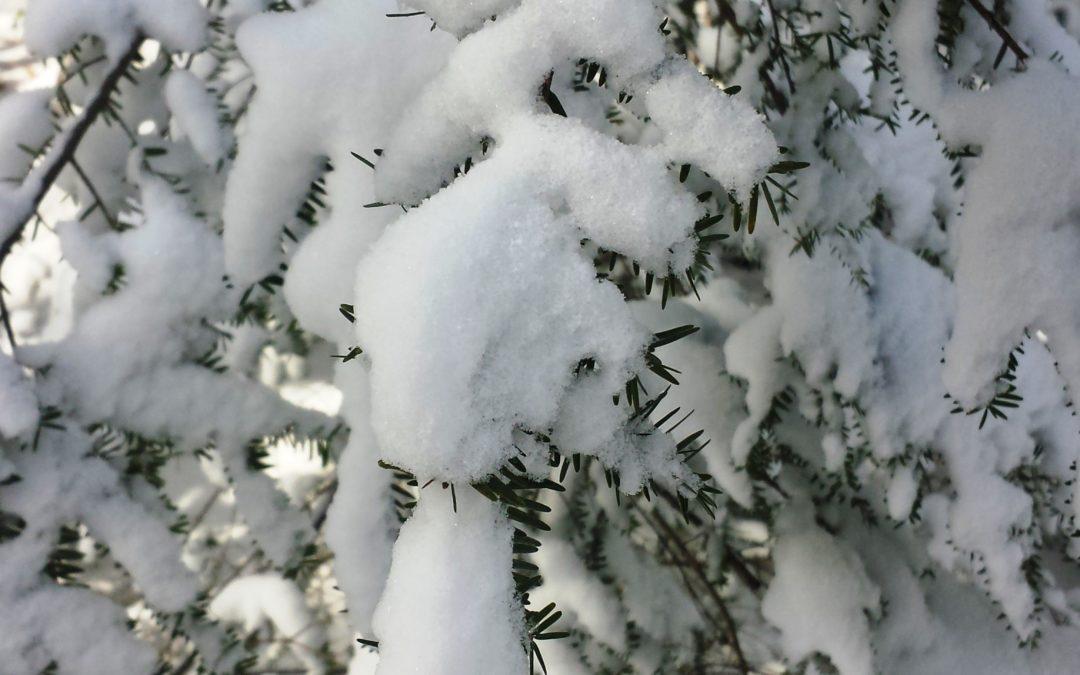 Wordless Wednesday:  Snow on Hemlock