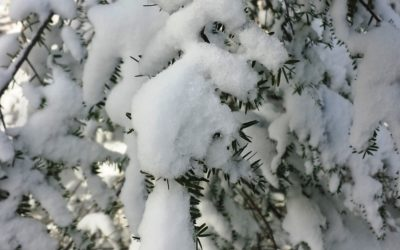 Wordless Wednesday:  Snow on Hemlock